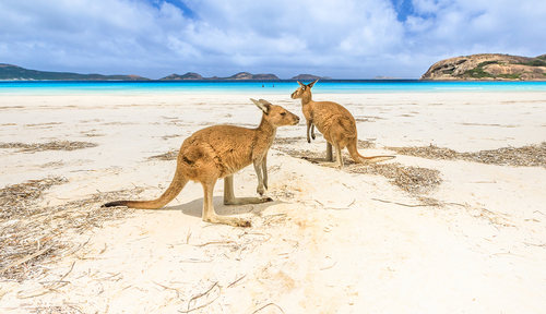 picture of kangaroos on beach